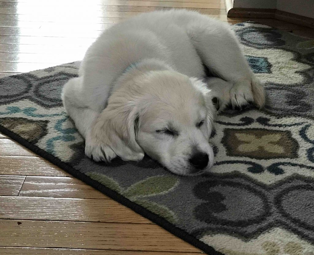 Your Puppy Probably Needs More Sleep Free State Canineanne