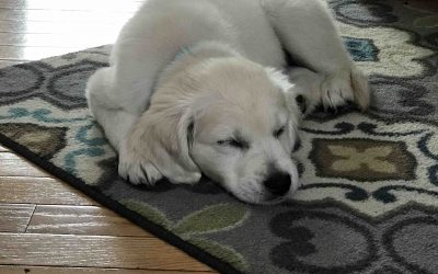 Your puppy probably needs more sleep